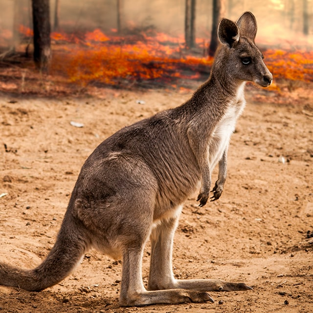 Kangaroo standing with bush fire in the background